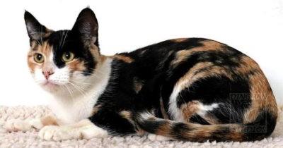 Kalinda cat