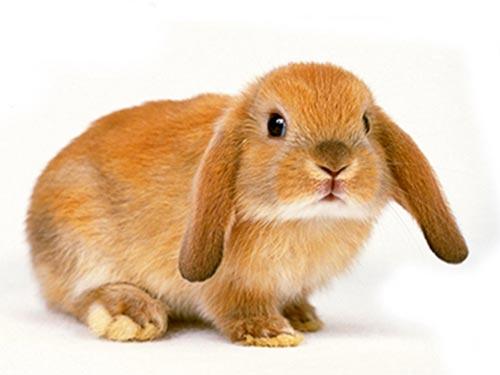 CHS rabbit
