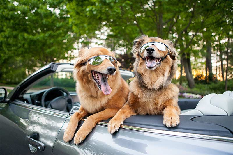 Car donation - two dogs ready for joy ride in convertible
