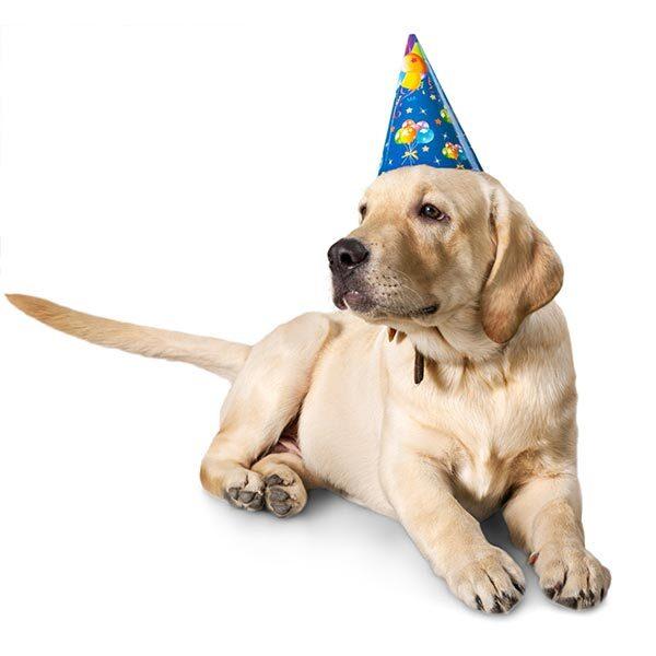 Celebration dog in party hat