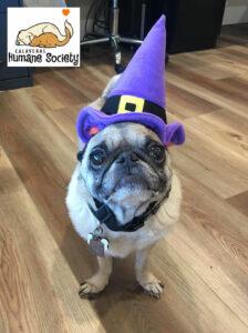 Ambassadog Marlee dressed for Halloween