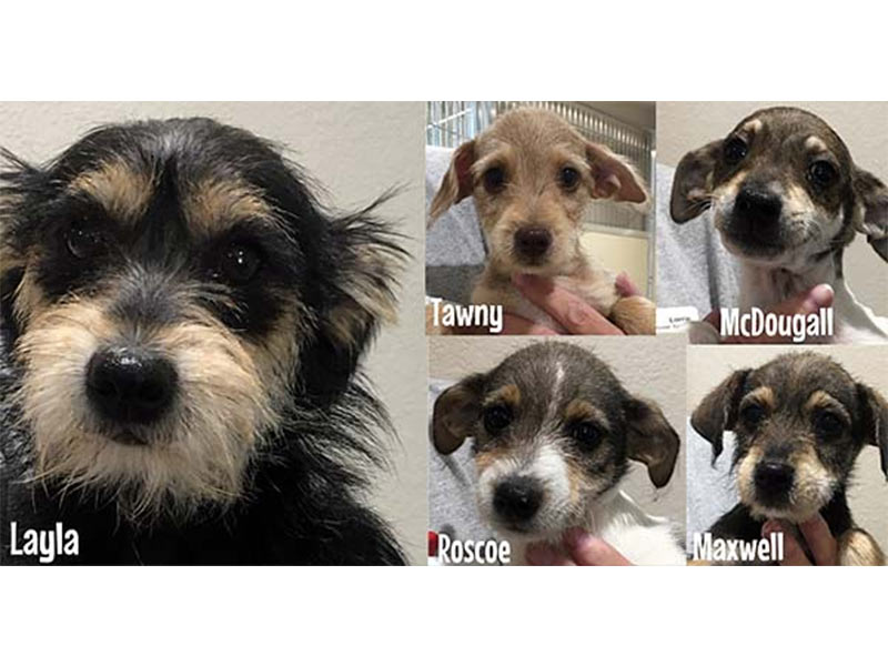 Scruffy puppies dog adopted August 2019