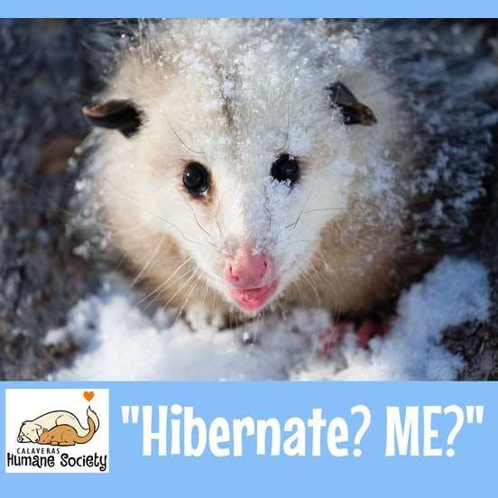 Opossums don't hibernate