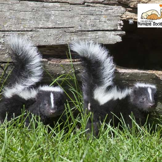 skunk mating season is here