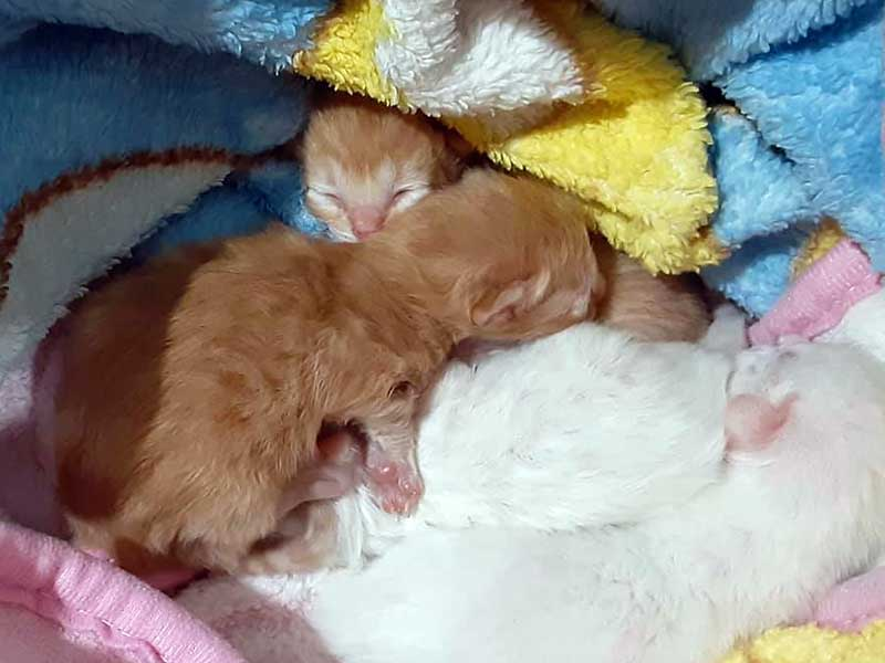 Four fluffy kittens safe and sound foster home April 2020