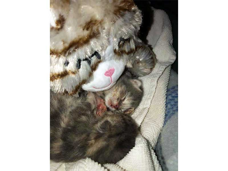 Kittens with Snuggle Kitty Plushie foster home March 2020