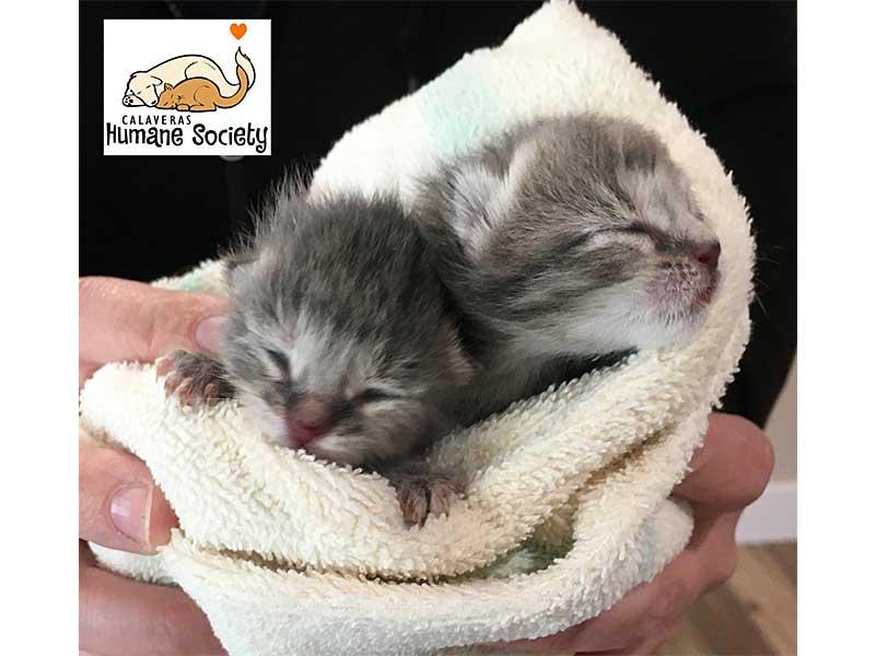 Pair of newborn foster kittens March 2020