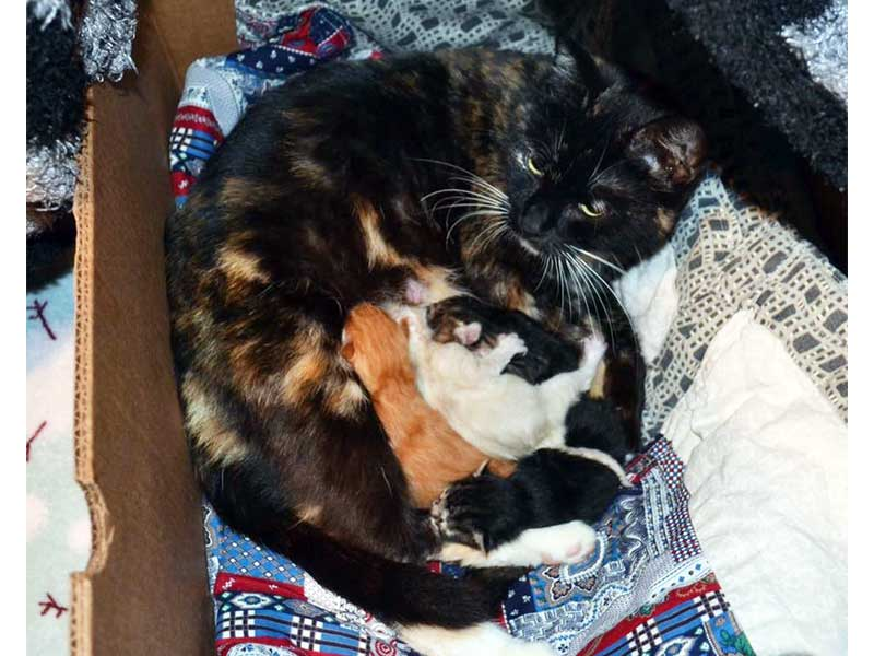 Pepper cat and newborn kittens at foster home