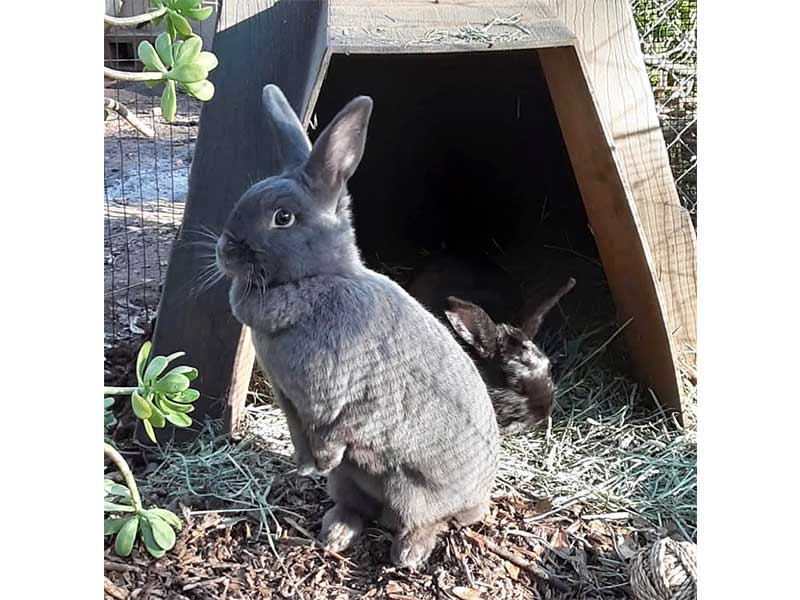Suede and Satin rabbits at foster home March 2020