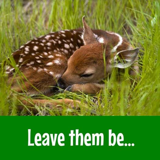 Leave fawns be
