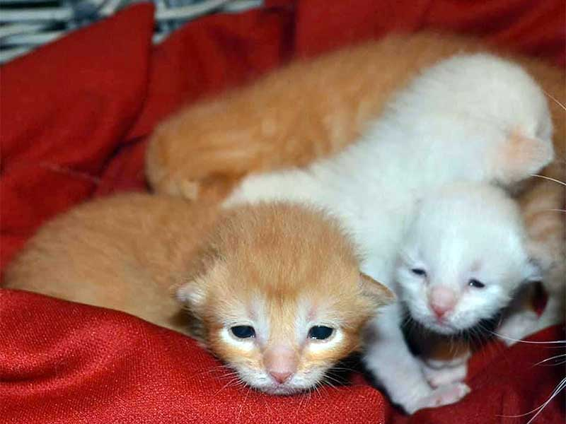 Orphaned kittens in foster care open their eyes