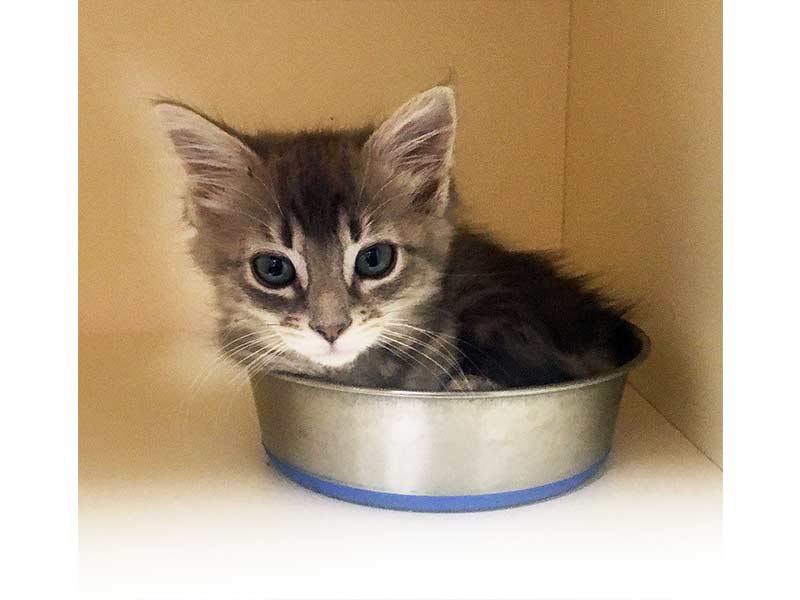 Foster kitten Tennessee in her food bowl