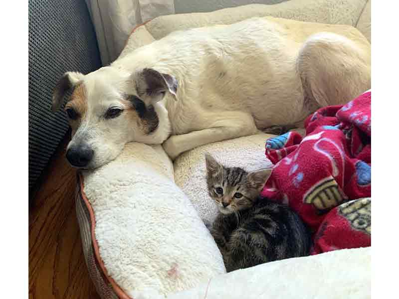 Bobbi dog guarding foster kitten Cahira