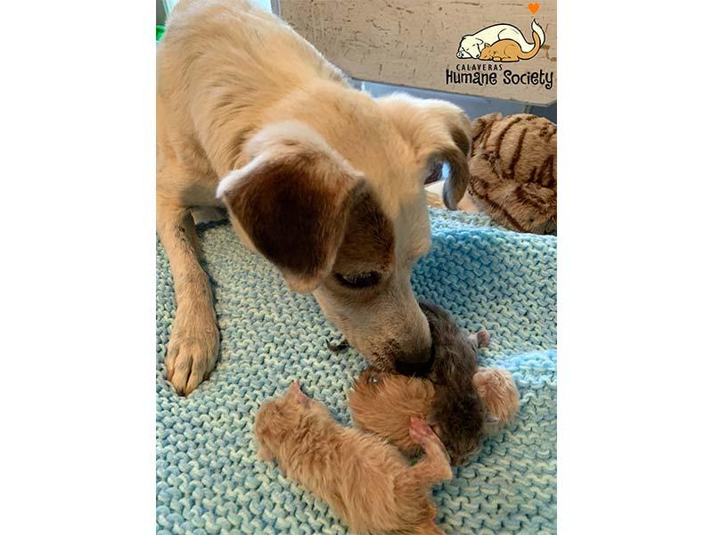 Bobbi dog nurtures foster kittens