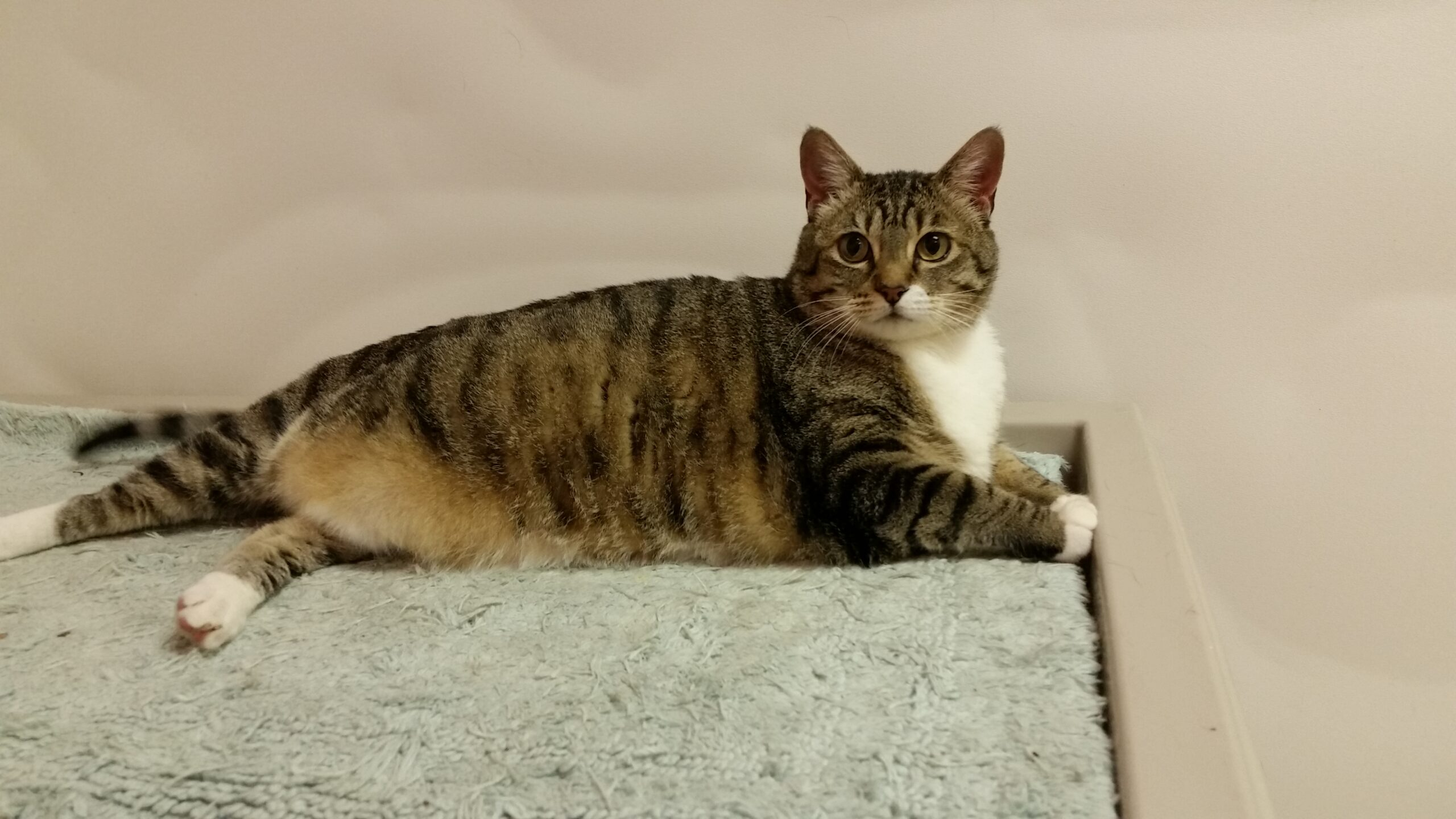 Biscuit cat available for adoption from CCAS
