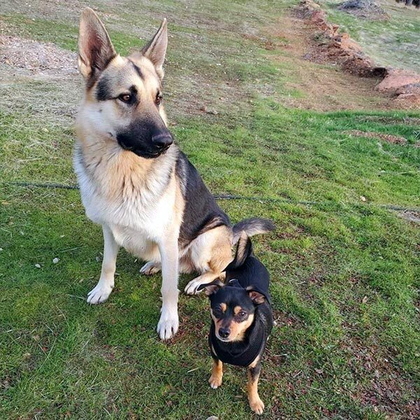 Team French pets, German Shepherd Ares and Yorkie/Chihuahua mix Bubbs