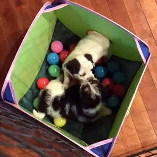 Puppies Ava and Nala in the ball pit