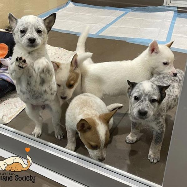 Five puppies in foster care, March 2021