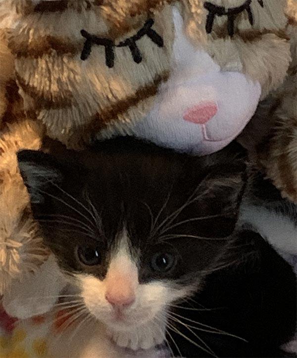 Kitten with heartbeat mama surrogate