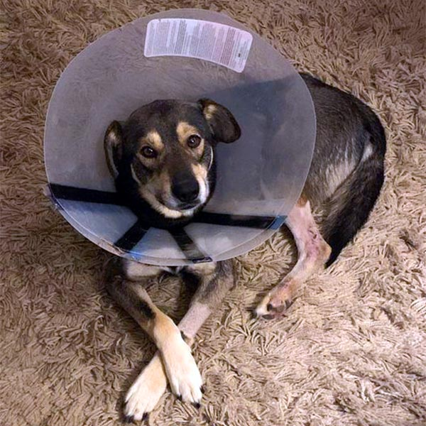 Nick dog recovering from surgery at foster home