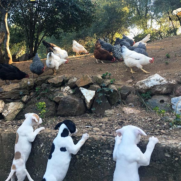 Puppies learning to like chickens at their foster home, April 2021